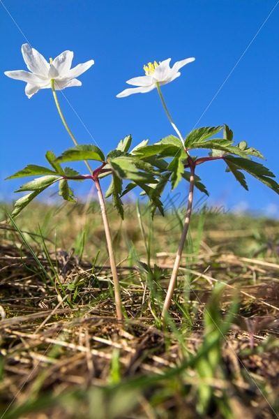 Anemone nemorosa – Stock photos from around the world