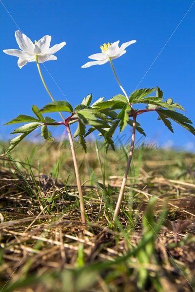 Anemone nemorosa – Stock photos from around the world