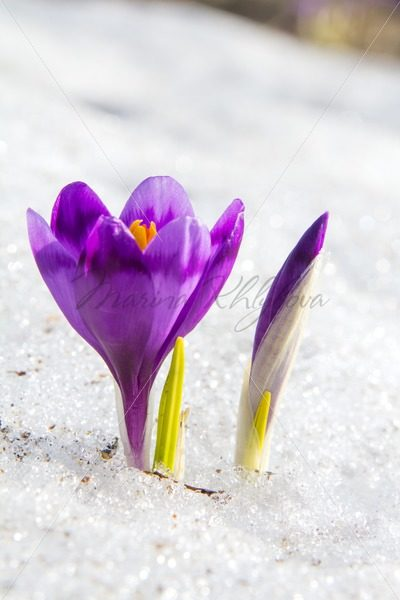 Blossom crocus and bud – Stock photos from around the world