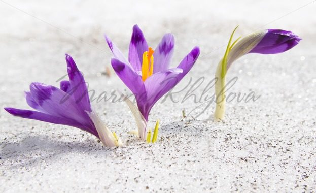 Crocuses and snow – Stock photos from around the world