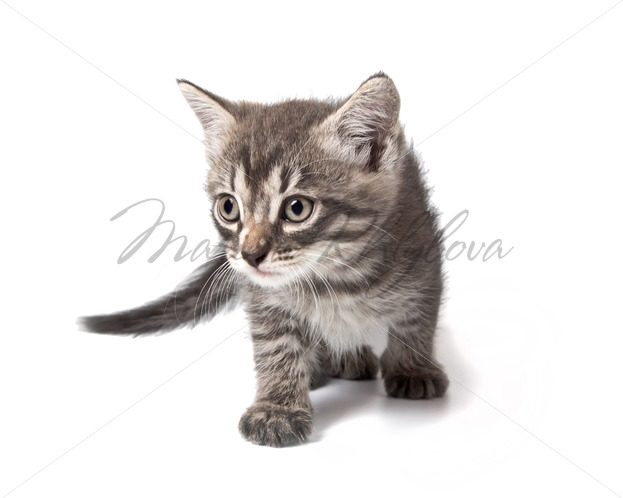 Little cute grey striped kitten sneaks – Stock photos from around the world