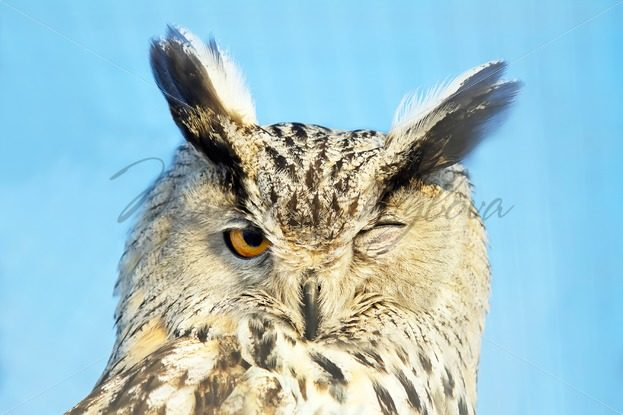Winking owl – Stock photos from around the world
