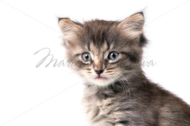 Fluffy gray kitten – Stock photos from around the world