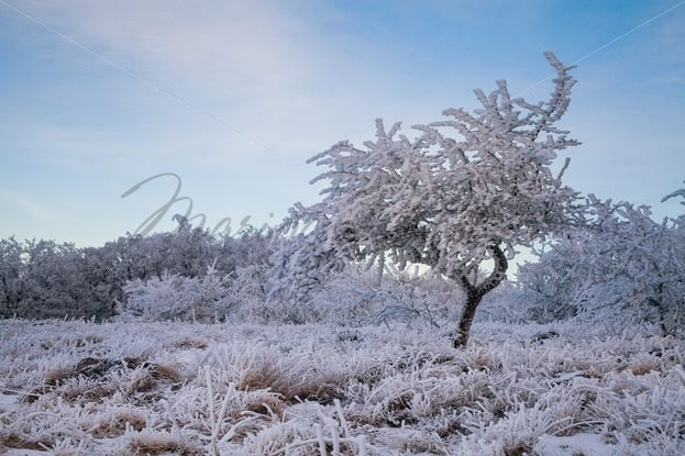 Frosted tree against forest of bushes – Stock photos from around the world