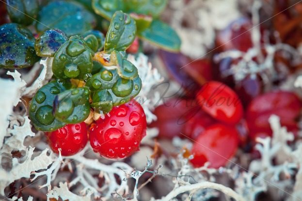 Ripe northern cranberries against the white moss – Stock photos from around the world