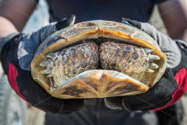 Wild turtle in human hands hides face for paws – Stock photos from around the world